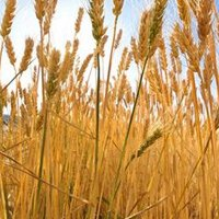 Ukrainian grain harvest is likely to meet expectations of 60m tonnes this year